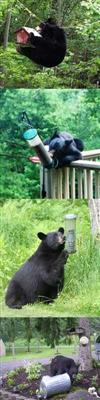 Bears looking for food